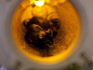 Most of the mice in the Bion M1 space capsule perished during the flight (Credits: Institute of Biomedical Problems of the Russian Academy of Sciences).